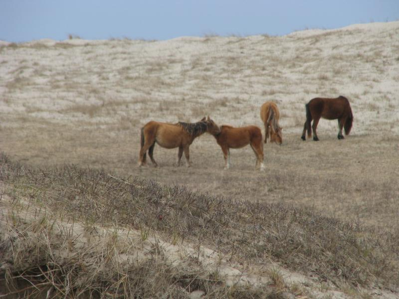 Horses of Sable Island